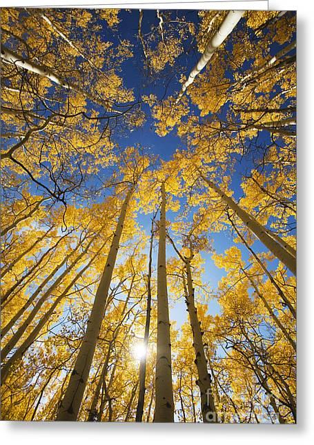 Aspen Tree Canopy 3 Greeting Card