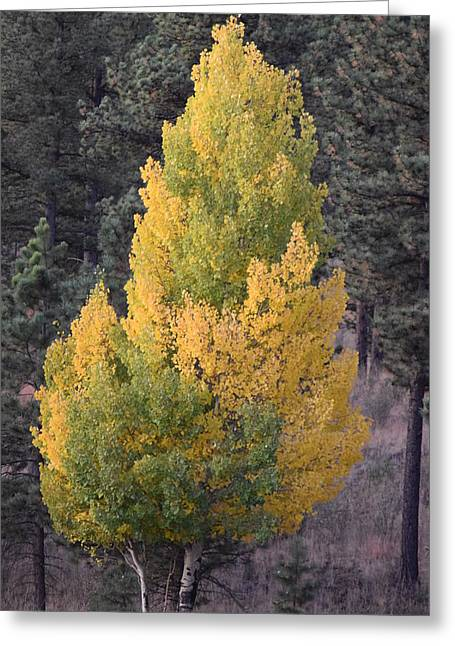 Aspen Tree Fall Colors Co Greeting Card