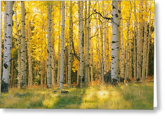 Aspen Trees In A Forest, Coconino Greeting Card
