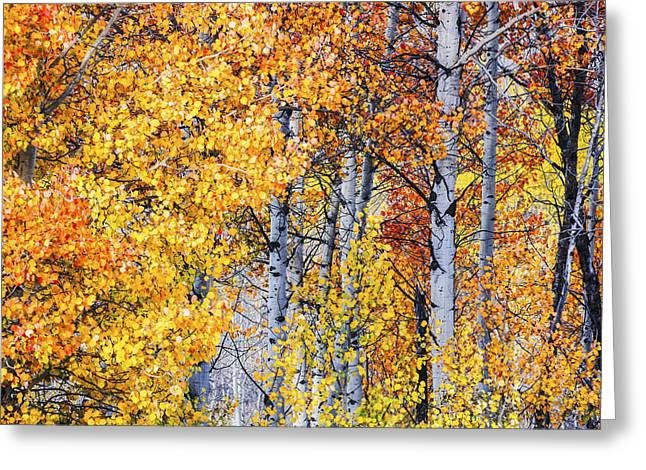 Aspen Trees In Autumn Glory Greeting Card