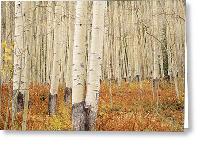 Aspen Trees In The Forest, Aspen Greeting Card by Panoramic Images