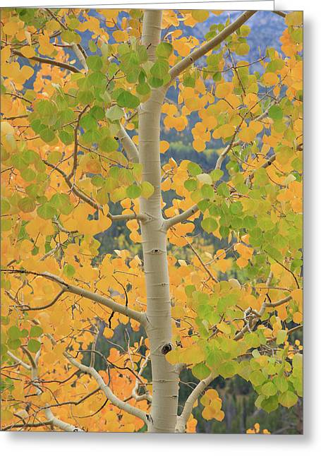 Greeting Card featuring the photograph Aspen Watching You by David Chandler