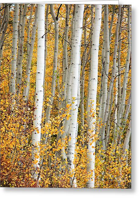 Aspen With Fall Color Greeting Card by Dori Peers