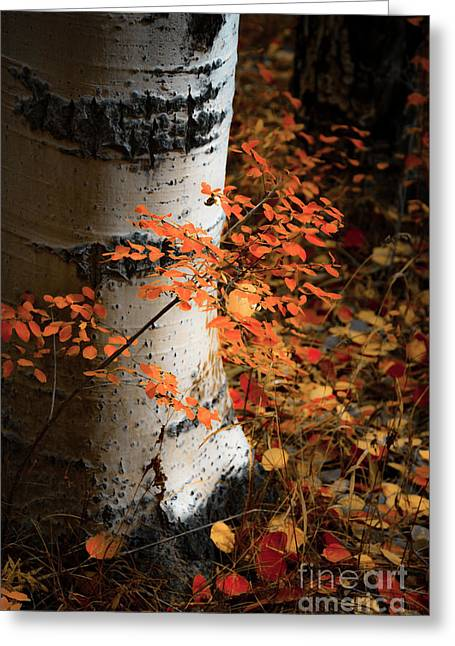 Greeting Card featuring the photograph Aspen Woods by The Forests Edge Photography - Diane Sandoval