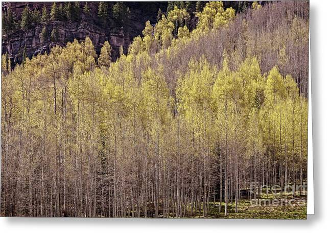 Aspens Bloom Greeting Card