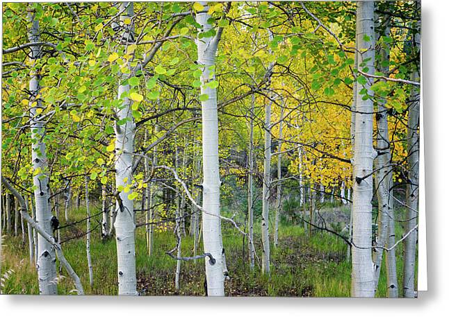 Aspens In Autumn 6 - Santa Fe National Forest New Mexico Greeting Card