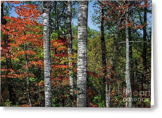 Aspens In Fall Forest Greeting Card