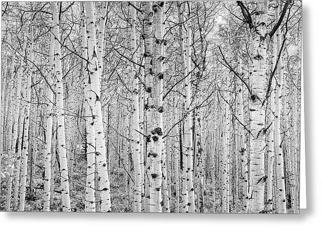 Aspens In High Key Greeting Card