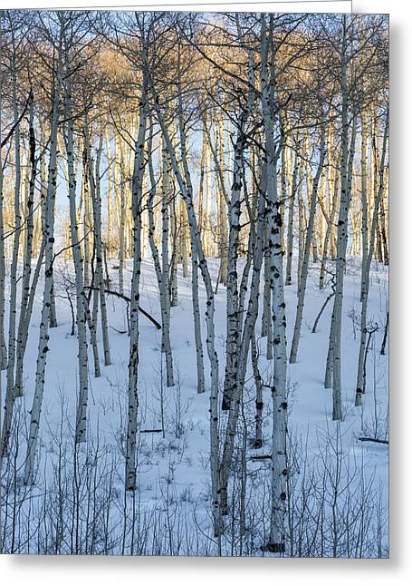 Aspens In Shadow And Light Greeting Card