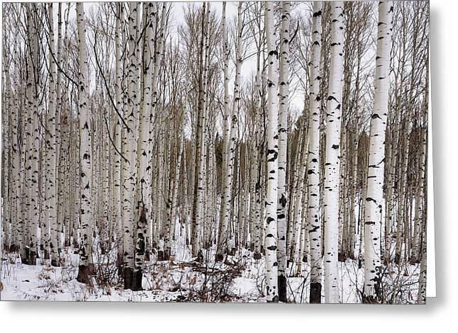 Aspens In Winter - Colorado Greeting Card