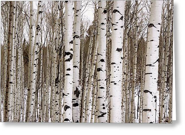 Aspens In Winter Panorama - Colorado Greeting Card