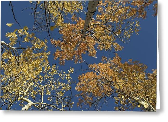 Greeting Card featuring the photograph Aspens Looking Up by Mary Hone