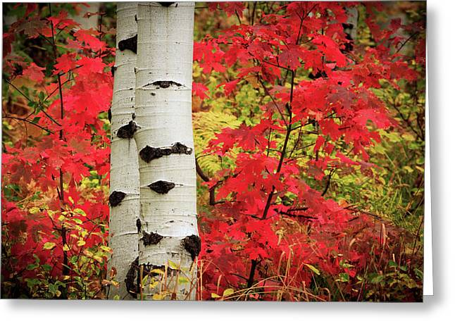 Aspens With Red Maple Greeting Card