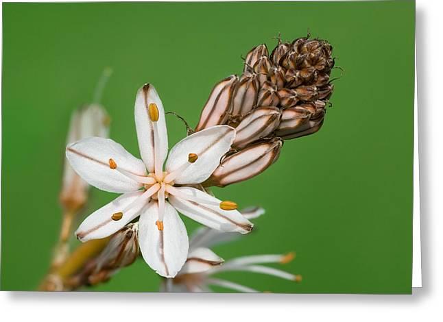 Asphodelus Microcarpus Greeting Card by Yuri Peress