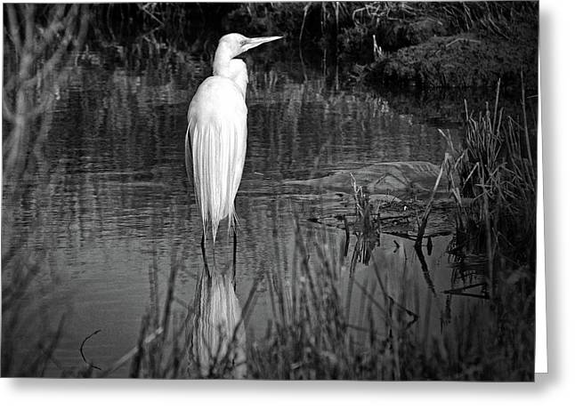 Assateague Island Great Egret Ardea Alba In Black And White Greeting Card
