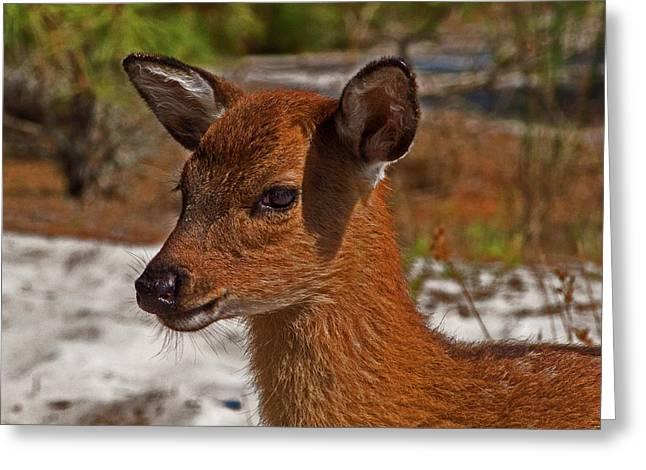 Assateague Island Sika Deer Fawn Greeting Card