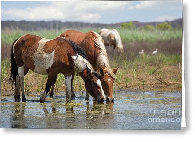 Assateague Ponies Tale Drink Greeting Card