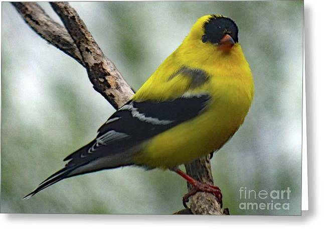 Assured A Mate - American Goldfinch Greeting Card by Cindy Treger