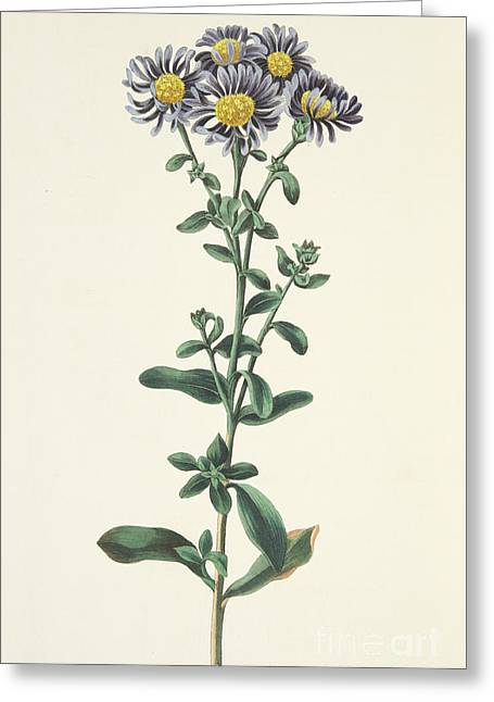 Aster Amellus Greeting Card by Margaret Roscoe