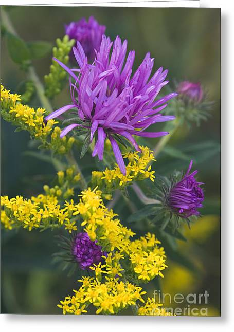 Aster And Goldenrod - D009195 Greeting Card by Daniel Dempster