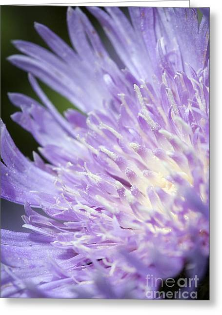 Aster Bloom Greeting Card by Jeannie Burleson