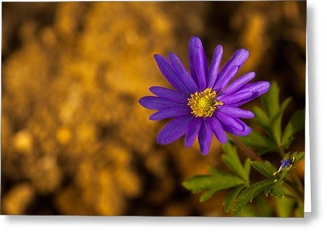 Aster  Greeting Card by Karol Livote