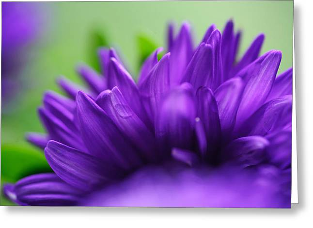 Aster Macro Greeting Card by Jenny Rainbow