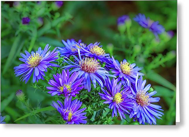 Asters #a2 Greeting Card by Leif Sohlman