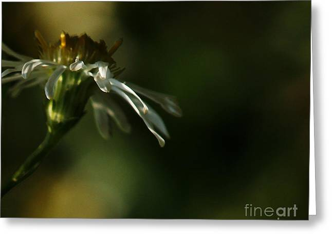 Aster's Peripheral Ray Greeting Card by Linda Shafer
