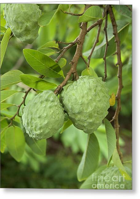 Atemoya Fruit On Branch Greeting Card by Inga Spence