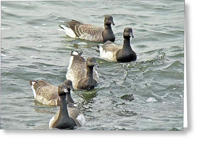 Mother Nature Greeting Cards - Atlantic Brant Geese - Branta bernicla hrota Greeting Card by Mother Nature