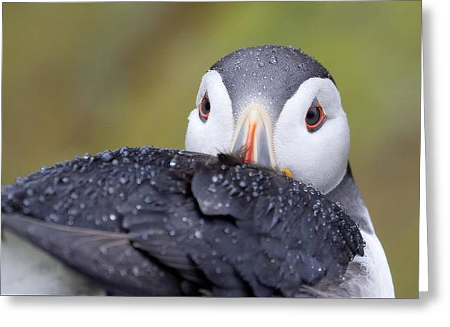 Atlantic Puffin With Rain Drops Greeting Card
