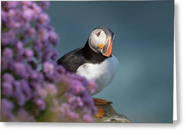 Atlantic Puffin - Scottish Highlands Greeting Card