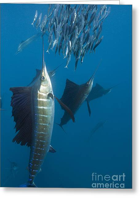 Atlantic Sailfish Greeting Card by Reinhard Dirscherl