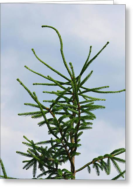 Atop The Pine Tree Greeting Card by JAMART Photography