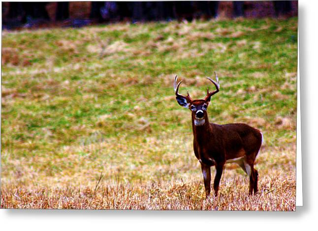 Attentive Buck Greeting Card