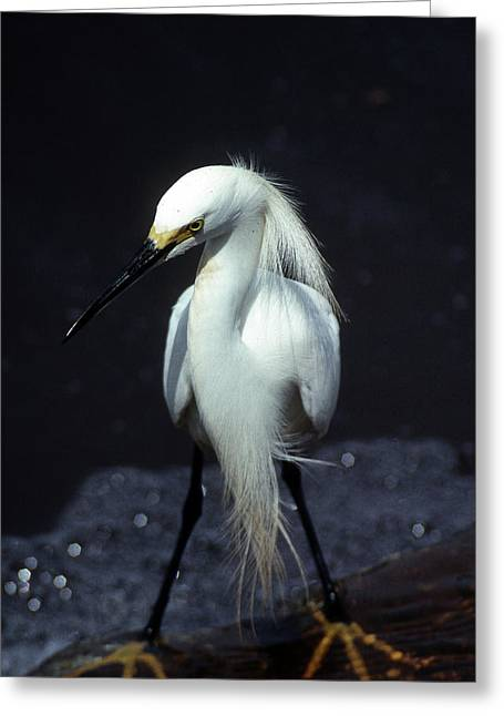 Photos Of Birds Greeting Cards - Attitude Greeting Card by Skip Willits