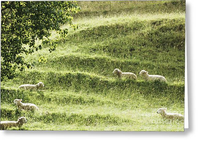 Auckland Sheep Grazing Greeting Card