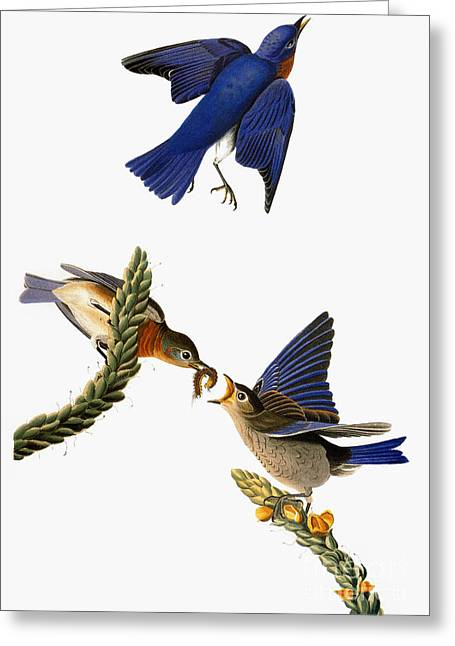 Audubon: Bluebird Greeting Card