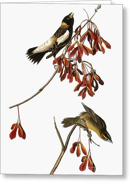 Audubon: Bobolink Greeting Card by Granger