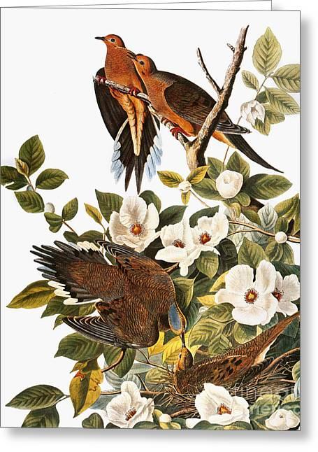 Audubon: Dove Greeting Card by Granger