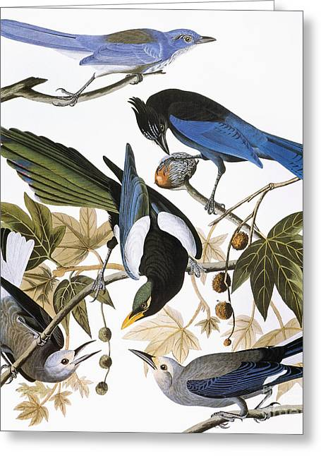 Audubon: Jay And Magpie Greeting Card