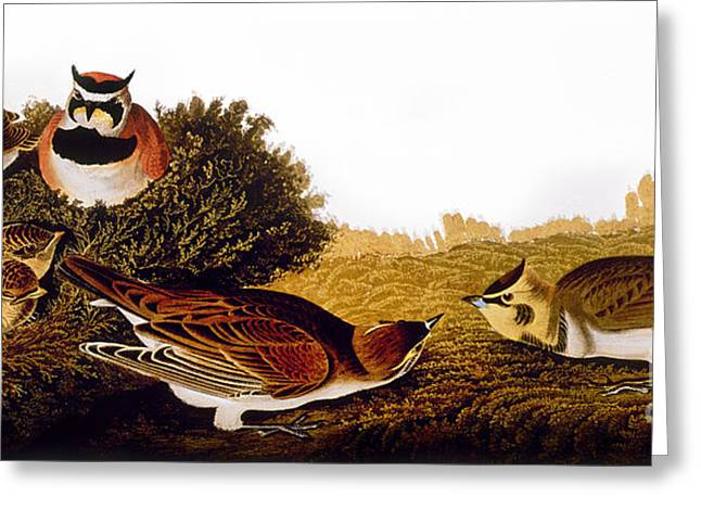 Audubon: Lark Greeting Card