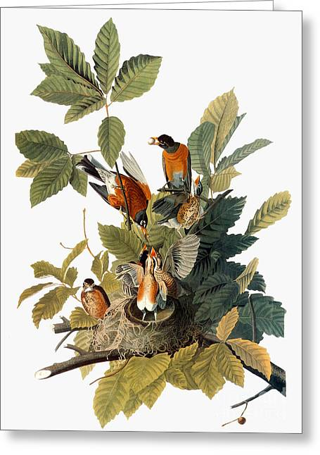 Audubon: Robin Greeting Card