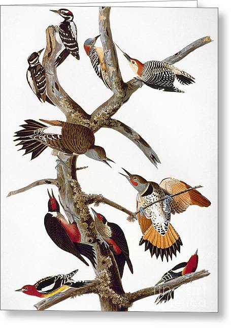 Audubon: Woodpeckers Greeting Card by Granger