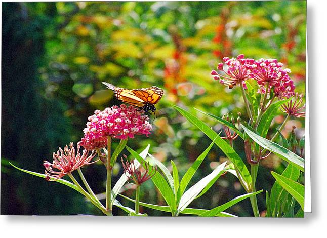 August Monarch Greeting Card