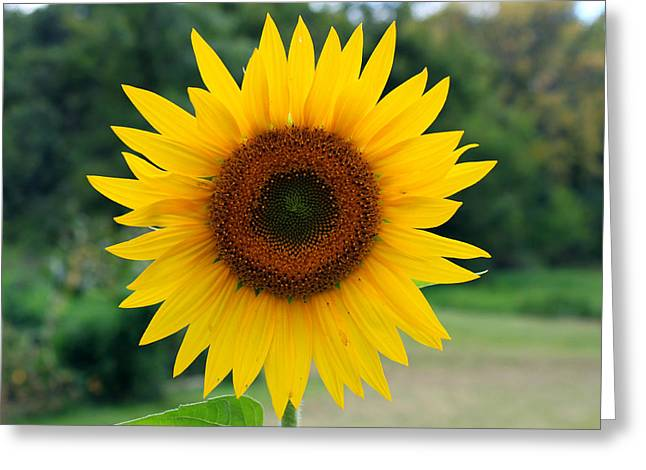August Sunflower Greeting Card by Jeff Severson