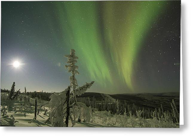 Aurora In The Hoar Frost Greeting Card
