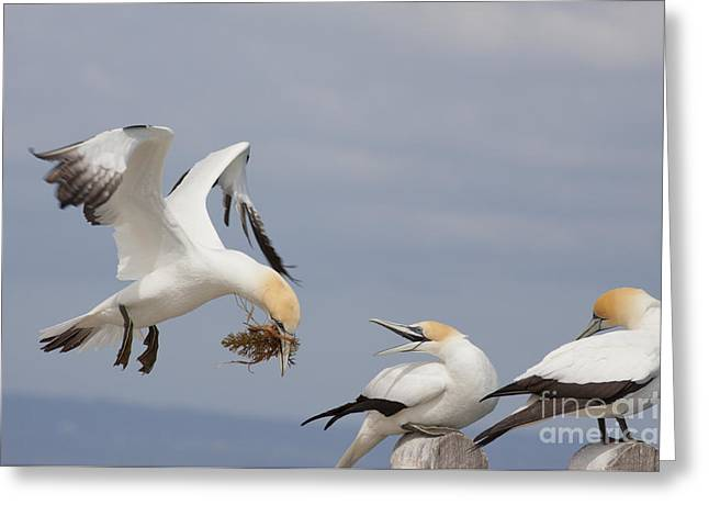 Australasian Gannet With Nesting Material Greeting Card