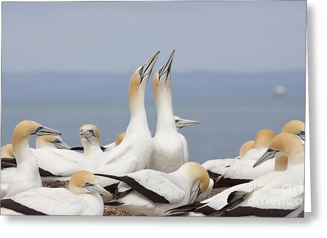 Australasian Gannets Courting Greeting Card